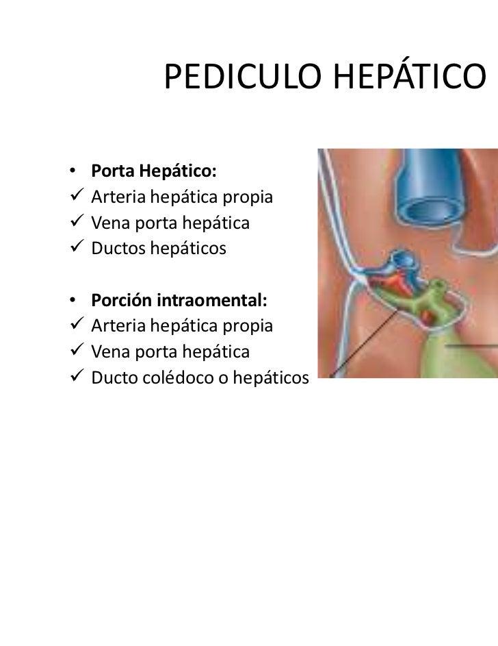 Contemporáneo Anatomía Arteria Hepática Ornamento - Imágenes de ...