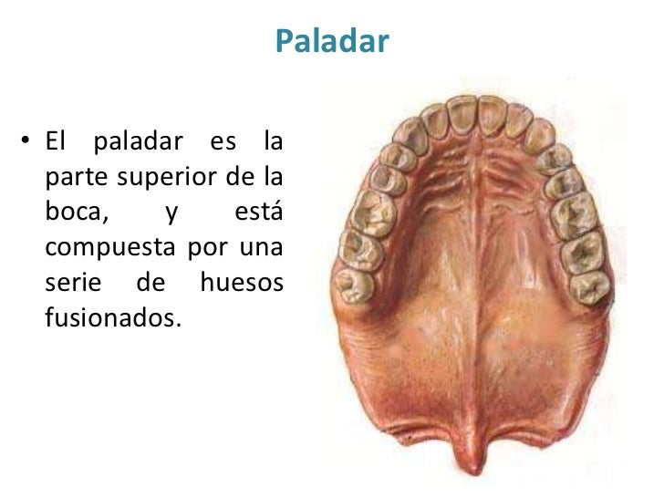 Anatomia Paladar Pictures to Pin on Pinterest - PinsDaddy