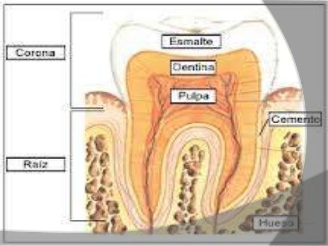 Sistemas digestivos