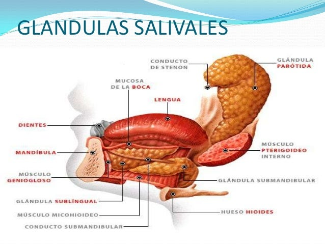 """ Digestiva: contiene una enzima llamada """"ptialina"""" que actúa desdoblando los hidratos de carbono, con lo cual se inicia l..."""
