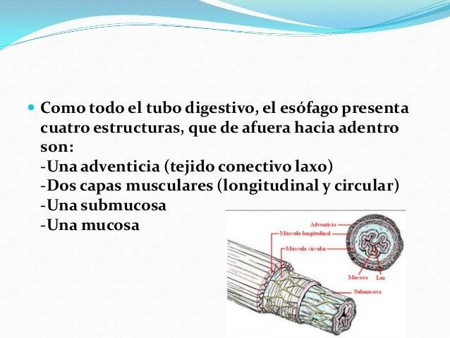 FUNCION DEL ESTOMAGO  El estómago mide cerca de 25 cm del cardias al píloro y unos 12 cm de longitud transversal. La capa...