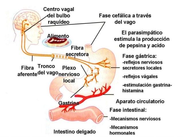 INTESTINO DELGADO Y GRUESO  El sistema digestivo cuenta con intestino delgado el cual se divide en duodeno, yeyuno e ileo...
