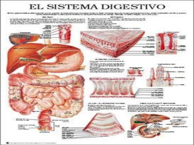  MEDIO: INTESTINO DELGADO, CIEGO, APENDICE, COLON ASCENDENTE Y MITAD DERECHA DEL TRANSVERSO.  CAUDAL: MITAD DISTAL DEL I...