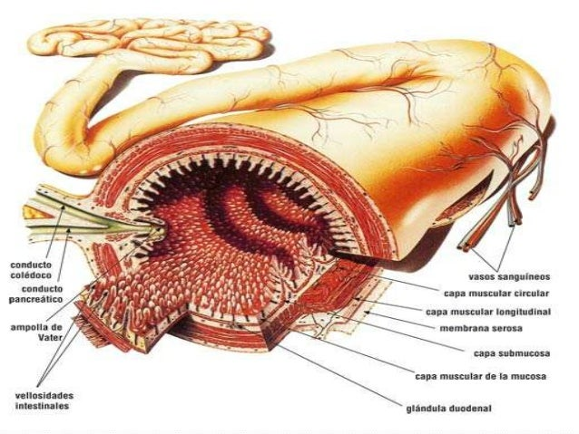 CAPAS DEL COLON  De afuera hacia adentro, el intestino grueso presenta cuatro estructuras: -Una serosa que cubre la pared...