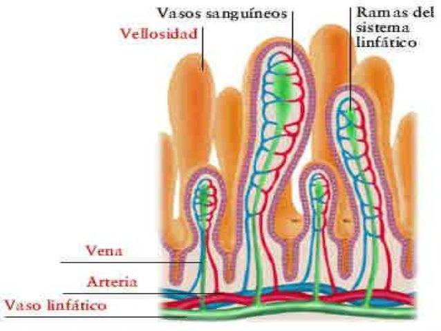 COLON Se ubica entre el ciego y el recto.  Se divide en cuatro regiones: colon ascendente, colon transverso, colon descen...