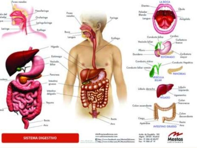 Sistema Digestivo 46547368 on colon diagram