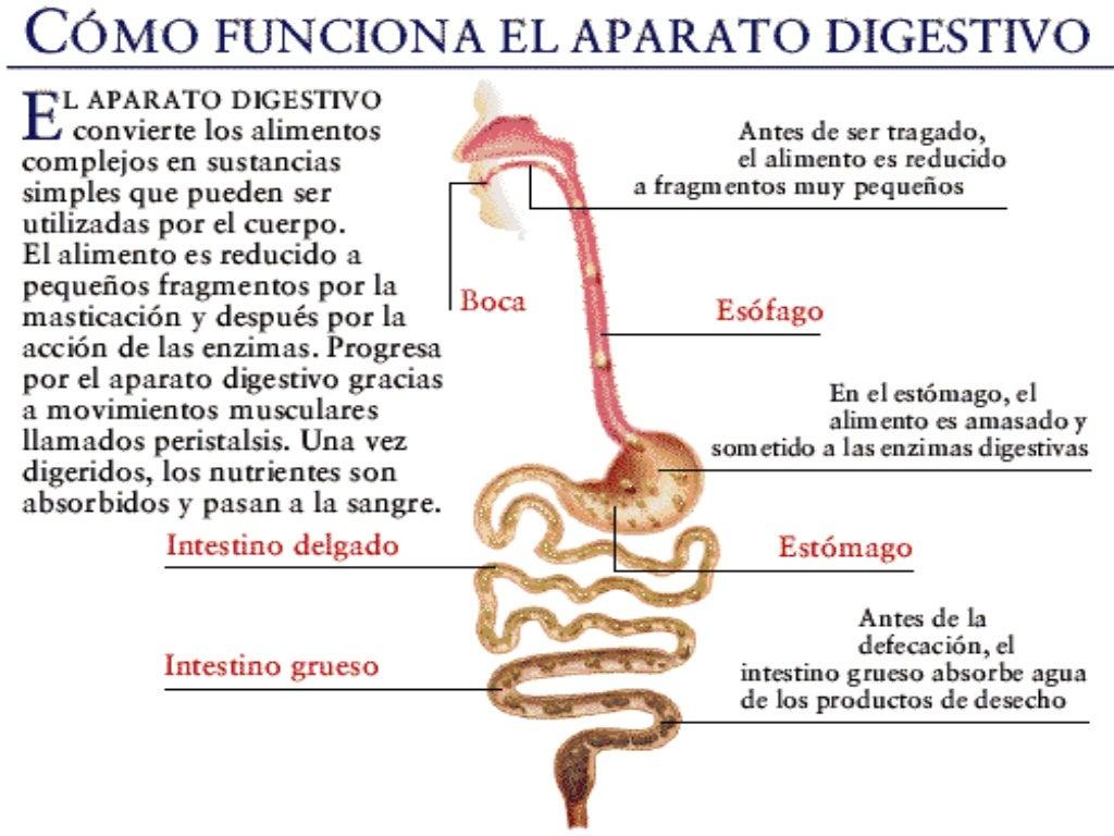 Moderno Sistema Digestivo Imágenes Para Los Niños Imágenes ...