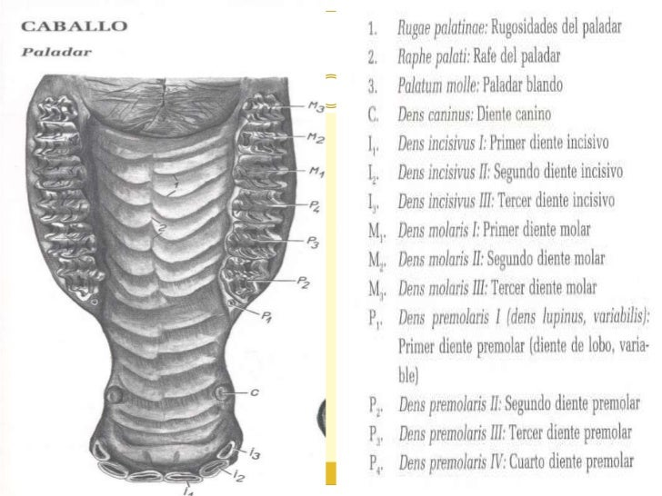 Sistema digestivo equinos