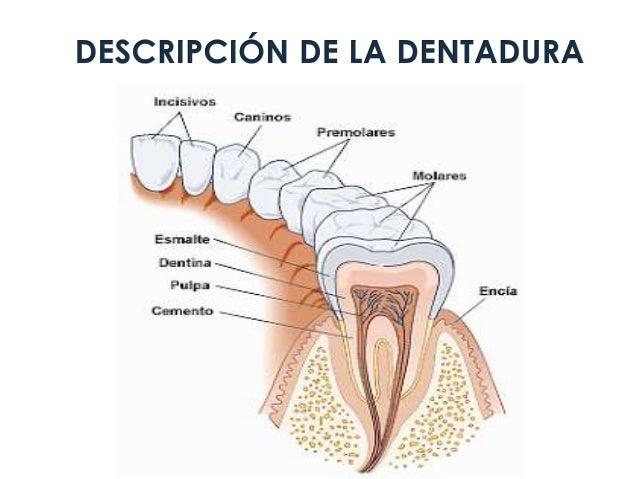 Sistema digestivo Anatomia y fisiologia