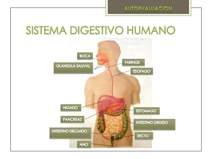 sistema-digestivo-humano-2-728.jpg?cb=1349855972
