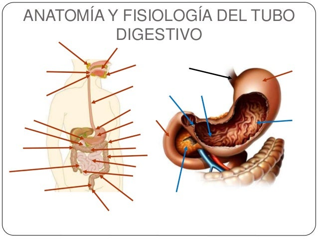 Sistema digestivo humano ppt