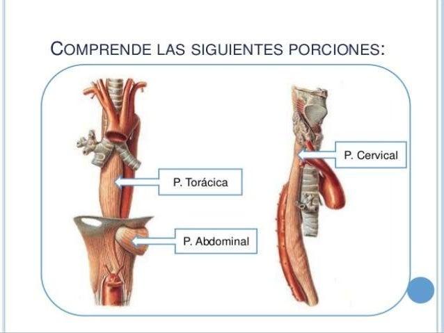 Sistema digestivo de los rumiantes, anatomía, fisiologia e histología