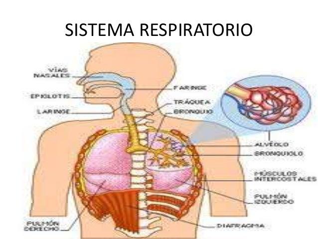 Sistema digestivo y respiratorio periodo embriologico