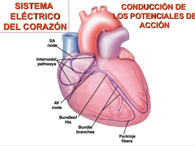 Sistema eléctrico del corazon