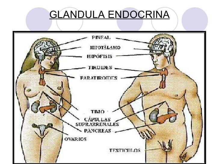 Sistema endocrino (Hormonas)