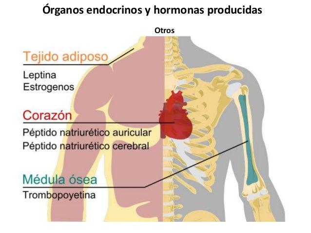 Sistema endocrino