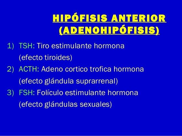 HIPÓFISIS ANTERIOR(ADENOHIPÓFISIS)1) TSH: Tiro estimulante hormona(efecto tiroides)2) ACTH: Adeno cortico trofica hormona(...