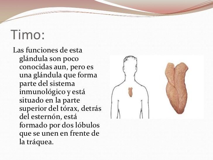 Asombroso Función De La Glándula Timo Composición - Anatomía de Las ...