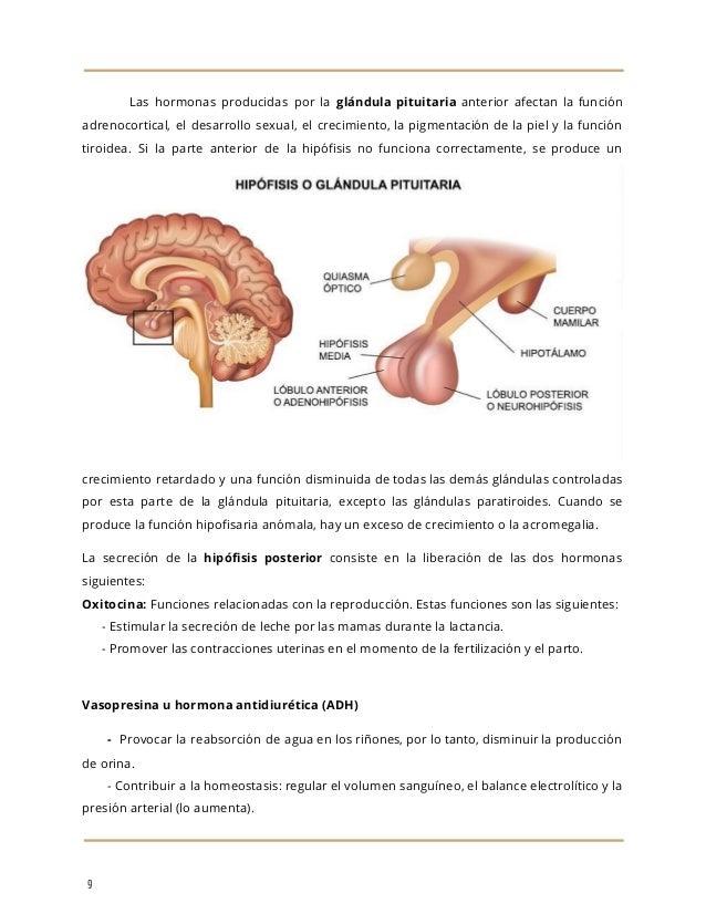 Encantador Lóbulo Anterior De La Glándula Pituitaria Adorno ...