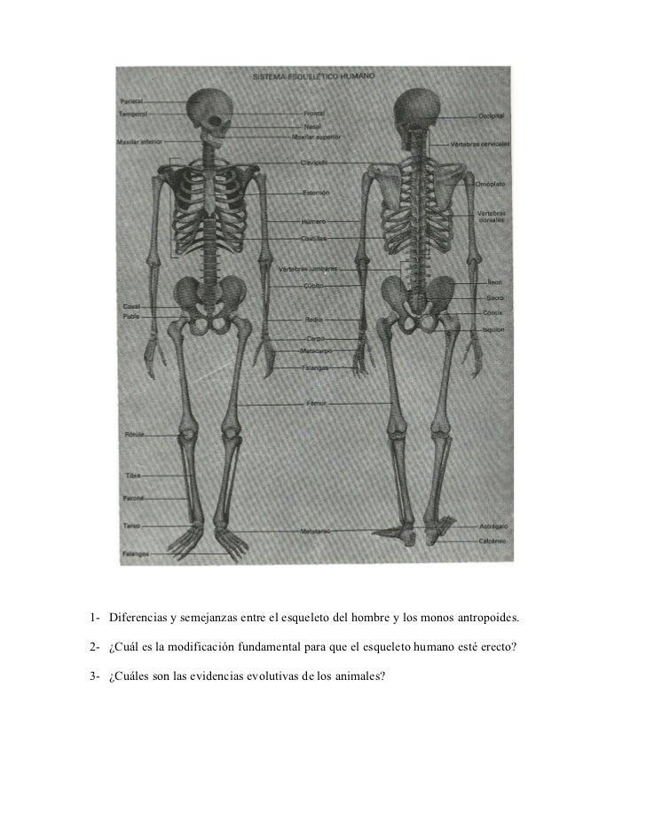 1- Diferencias y semejanzas entre el esqueleto del hombre y los monos antropoides.2- ¿Cuál es la modificación fundamental ...