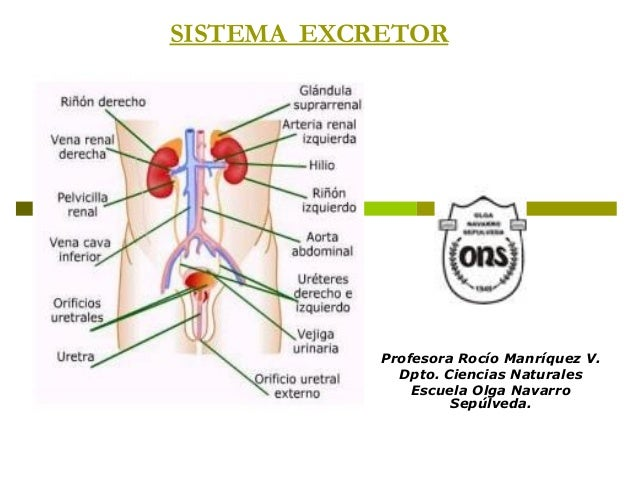 SISTEMA EXCRETORProfesora Rocío Manríquez V.Dpto. Ciencias NaturalesEscuela Olga NavarroSepúlveda.