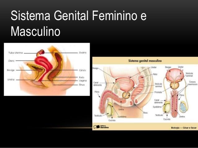 Sistema Genital Feminino e Masculino