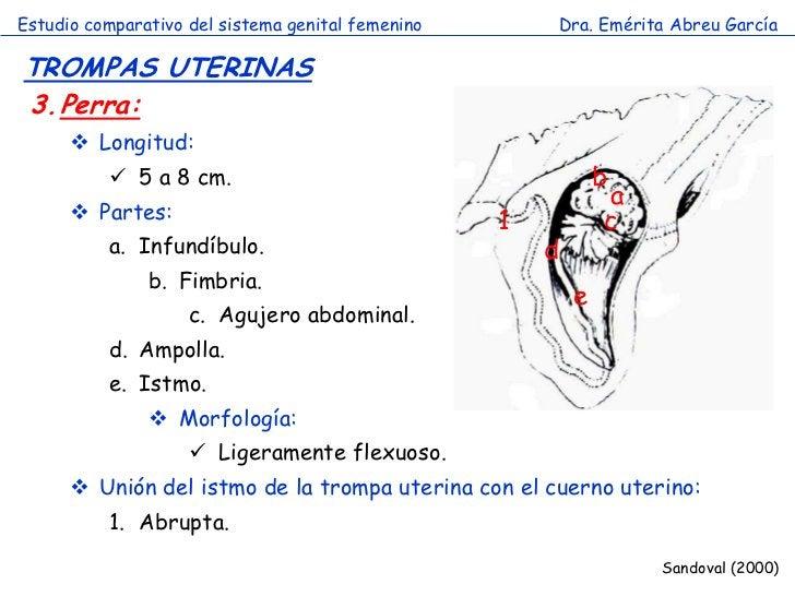 Estudio comparativo del sistema genital femenino       Dra. Emérita Abreu GarcíaTROMPAS UTERINAS3.Perra:       Longitud: ...
