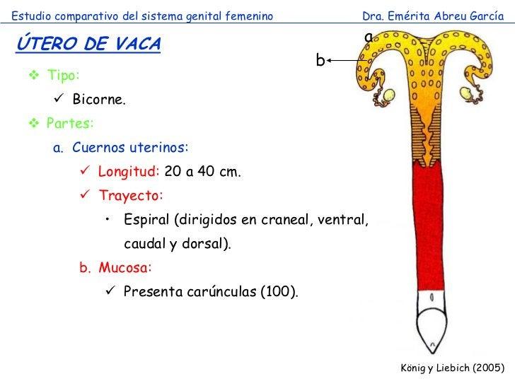 Estudio comparativo del sistema genital femenino        Dra. Emérita Abreu GarcíaÚTERO DE VACA                            ...