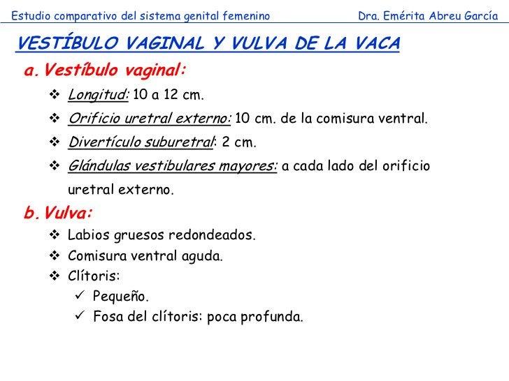 Estudio comparativo del sistema genital femenino     Dra. Emérita Abreu GarcíaVESTÍBULO VAGINAL Y VULVA DE LA VACA a. Vest...