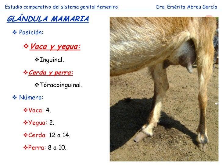 Estudio comparativo del sistema genital femenino   Dra. Emérita Abreu GarcíaGLÁNDULA MAMARIA   Posición:       Vaca y ye...