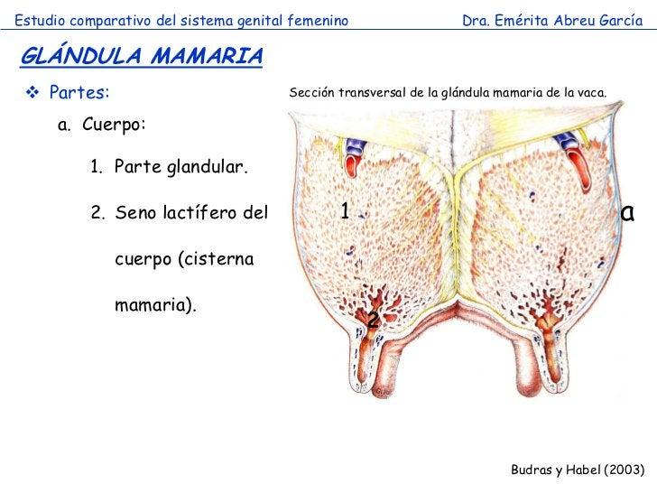 Estudio comparativo del sistema genital femenino                    Dra. Emérita Abreu GarcíaGLÁNDULA MAMARIA  Partes:   ...