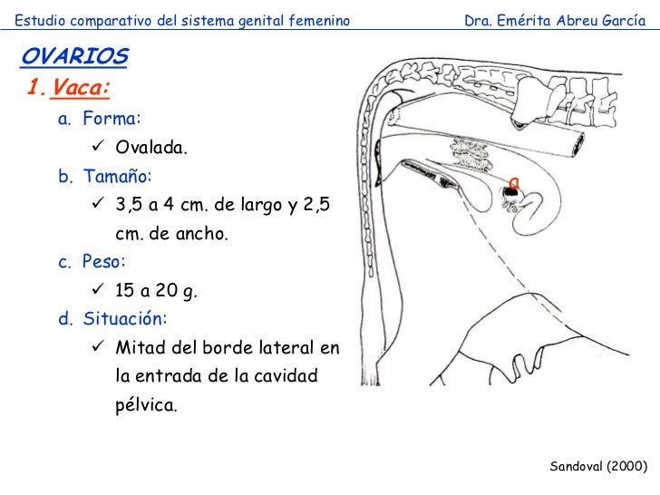 Estudio comparativo del sistema genital femenino   Dra. Emérita Abreu GarcíaOVARIOS1.Vaca:      a. Forma:           Ovala...