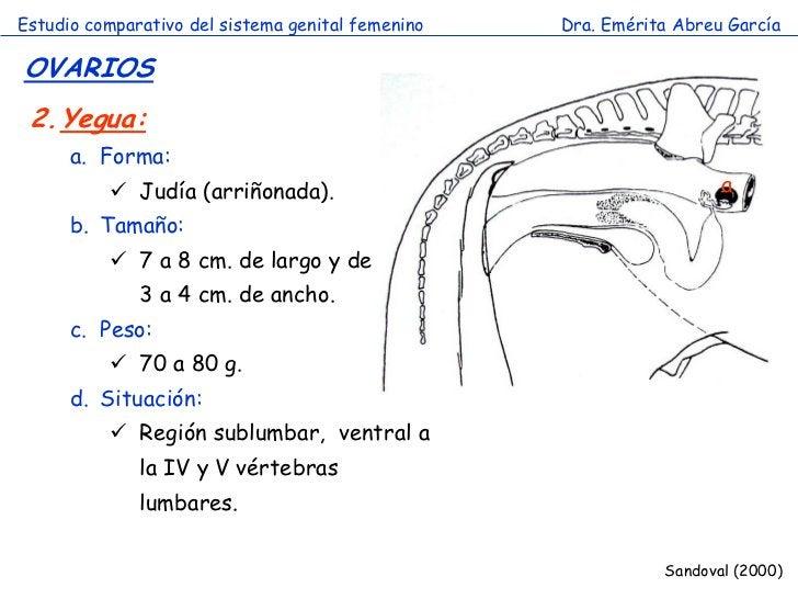 Estudio comparativo del sistema genital femenino   Dra. Emérita Abreu GarcíaOVARIOS 2.Yegua:      a. Forma:           Jud...