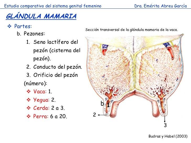 Famoso Anatomía Del Pezón Modelo - Anatomía de Las Imágenesdel ...