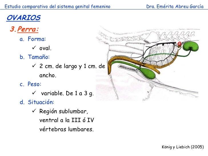 Estudio comparativo del sistema genital femenino   Dra. Emérita Abreu GarcíaOVARIOS  3.Perra:      a. Forma:              ...