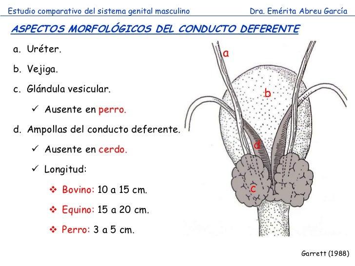 Asombroso Anatomía Del Vaso Deferente Ilustración - Anatomía de Las ...