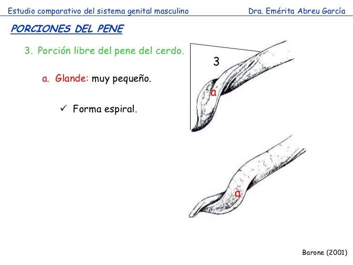 Sistema genital masculino comparada 2