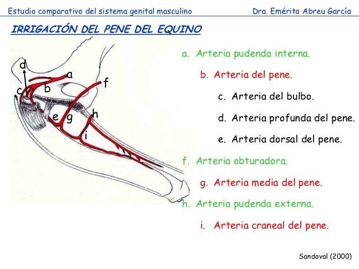 Vistoso Anatomía De Las Arterias Del Pene Elaboración - Anatomía de ...