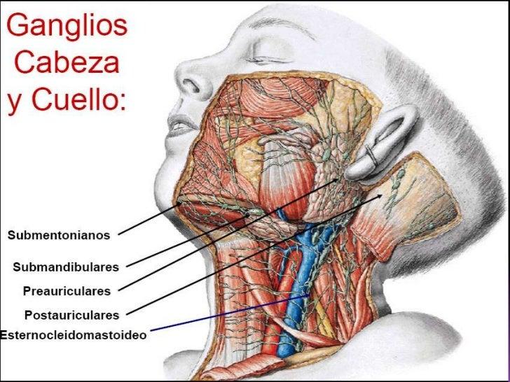 Lujoso Ganglios Linfáticos De La Cabeza Y El Cuello Anatomía ...