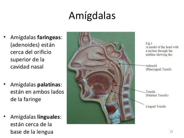 Sistema linfático y defensas del cuerpo