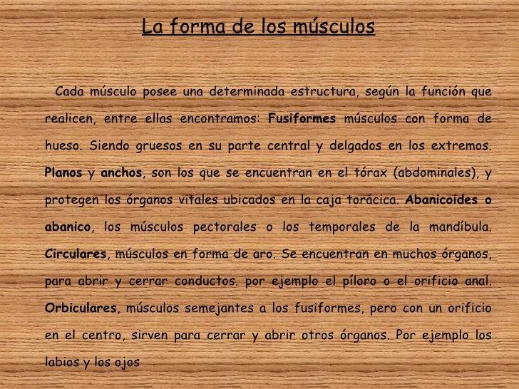 <ul><li>La forma de los músculos </li></ul><ul><li>Cada músculo posee una determinada estructura, según la función que rea...
