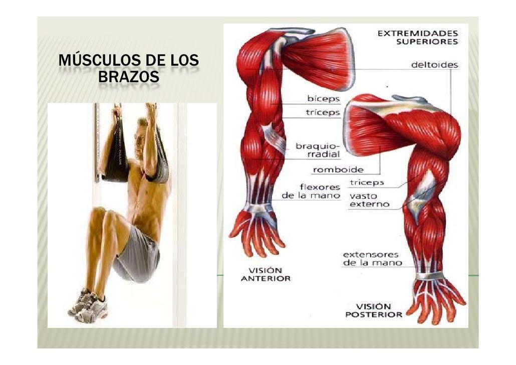 Hermosa Ubicación Músculo Deltoides Embellecimiento - Anatomía de ...