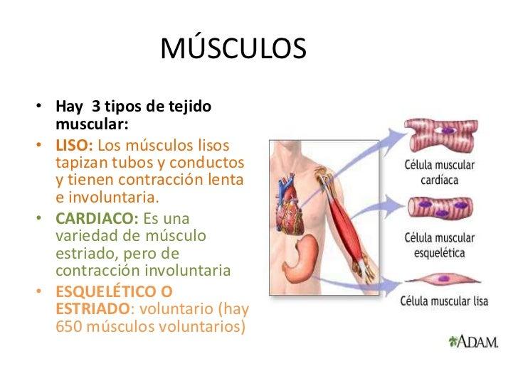 Contemporáneo De Células De Músculo Esquelético Colección de ...