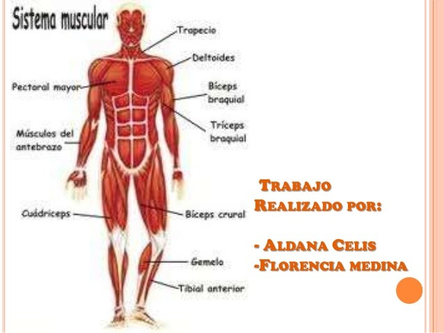 sistema-muscular-7-638.jpg?cb=1350539719