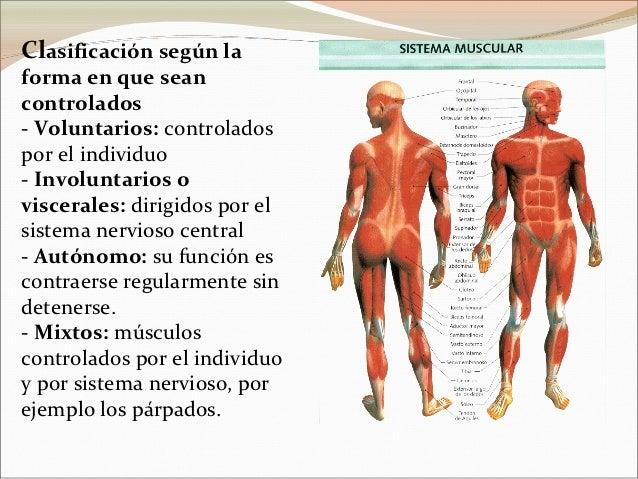 sistema-muscular-4-638.jpg?cb=1355250778
