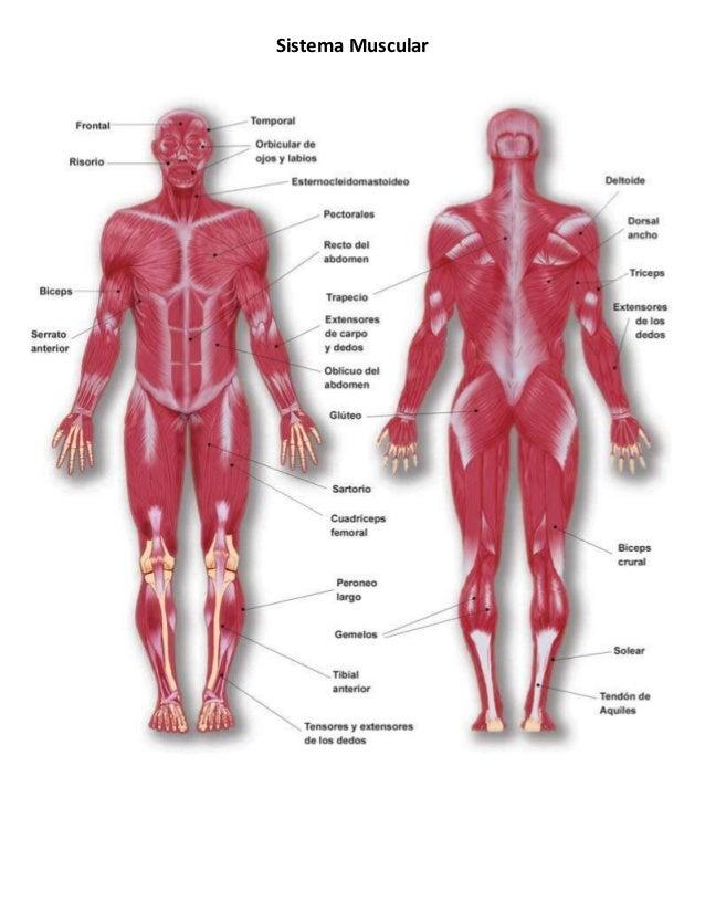 sistema-muscular-1-638.jpg?cb=1360052800