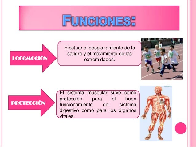 Sistema muscular POR PAMELA ERAS