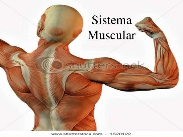 Profª Bárbara Lemos 1 Sistema Muscular