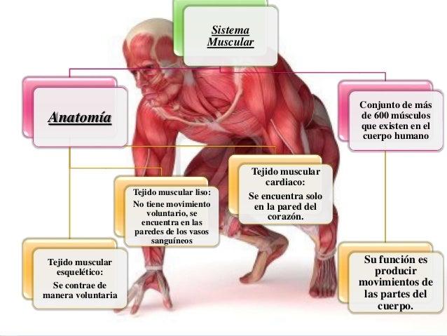 Sistema Muscular Anatomía Tejido muscular esquelético: Se contrae de manera voluntaria Tejido muscular liso: No tiene movi...