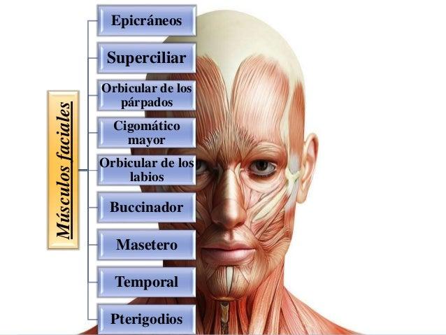 Músculosfaciales Epicráneos Superciliar Orbicular de los párpados Cigomático mayor Orbicular de los labios Buccinador Mase...